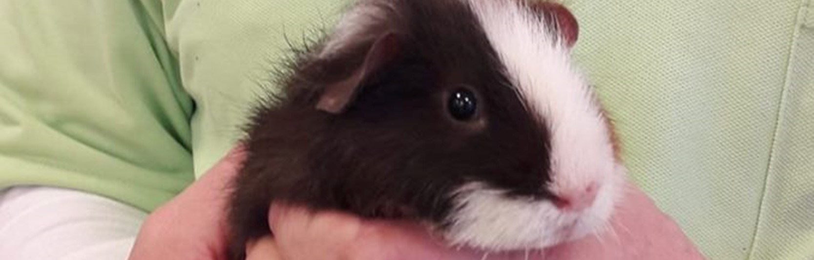 Newsartikel:Meerschweinchen Rambo rockt das Pflegeheim